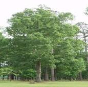 Eastern White Oak