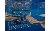 Tiburon jaula de buceo