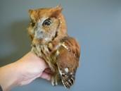 Eastern Screech Owl #3