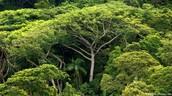 Ova prašuma trpi golemu sječu.