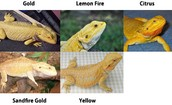Bearded Dragon Color