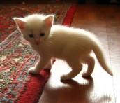 חתול הבית