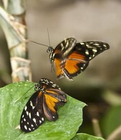Butterfly Courtship Dance
