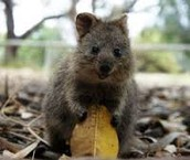 Cute little Quokka smiling for the camera