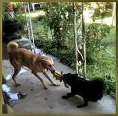Tug O War dogs