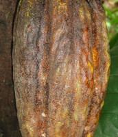 This is the whole cocoa pod that has not been cut yet.