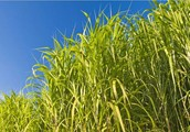What is the process of turning plants into BioFuel?