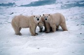 Polar Bear Food