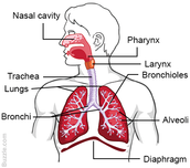 How The Respiratory System Works