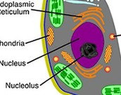 nucleolus in plant cell