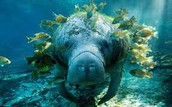 what manatees eat?