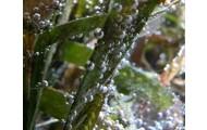 Seagrass (Zostera sp)