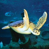 Green sea turtles can be found in many different estuaries!