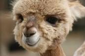 average alpaca.