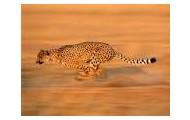 The (Female) Cheetah
