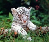 White tiger alone in space