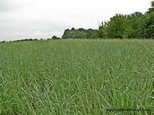 Field of switch grass