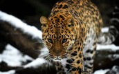 Today there are 70 known adult Amur leopards in the wild, up from just 30 in 2007.