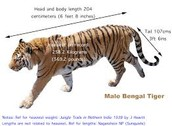 Tigers are the largest wild cat in the world.