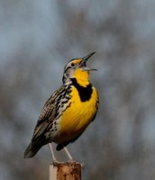 This bird is the western meadowlark North Dakotas state bird.