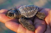 Baby Leatherback