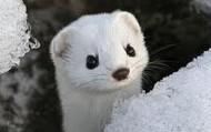 Least Weasel in winter