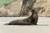 The Northern Elephant Seal