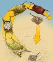 Skate life cycle the same as manta ray