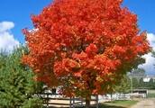 New Jersey State Tree: Red Oak