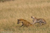 Cheetah and Hyena race