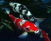 Koi Fish: