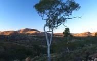 Eucalyptus tree (Gum tree)