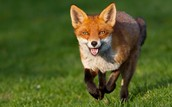 What About Foxes?