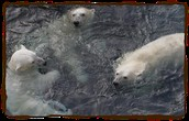 Polar Bears In Water