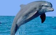 Marine Dolphin
