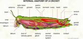 Internal Anatomy of Grasshopper