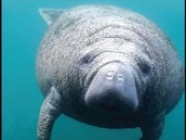 Endangered Animal: Florida Manatee
