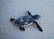 Baby Sea Turtles!!!!!!!!!!!!!!!!!!!!!!!!!!!!!!!!!!!!