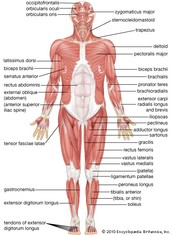 What is the Muscular system?
