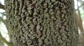 Exocarpos cupressiformis (Native Cherry)