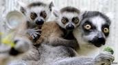 pet the lemurs!!!