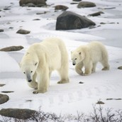 polar bears hunt