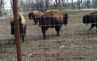 This is Jerry, Barry, Larry, and Scary the Buffalo