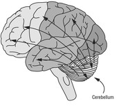 Links Between the Cerebellum and Other Parts of the Brain