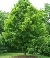 State Tree - Sugar Maple