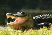 Alligator communication