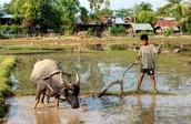Water Buffalo and Kid