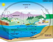 The steps in Carbon Cycle