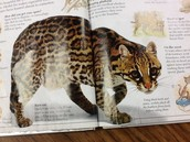 Jungle ocelot