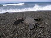 nesting area of the leatherback sea turtle